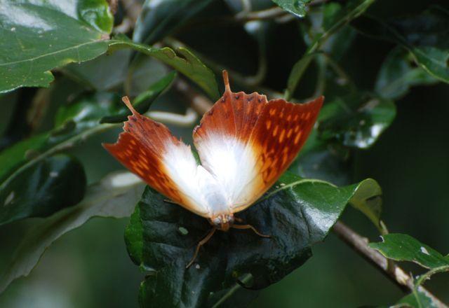 Makakatana - Butterfly