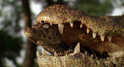 Resultado de imagen de cocodrilo y sus crias