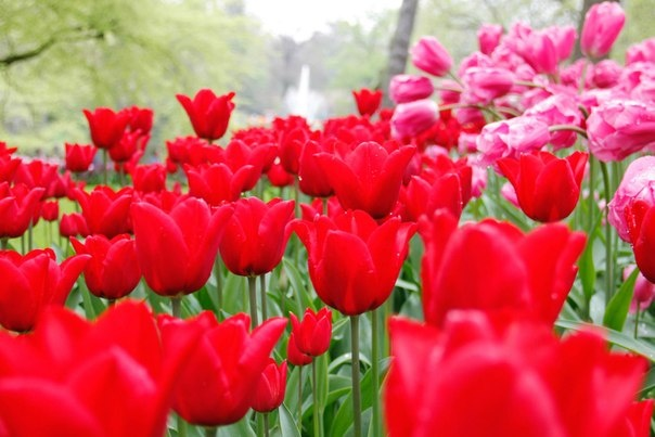 #flower #tulip #tulpe