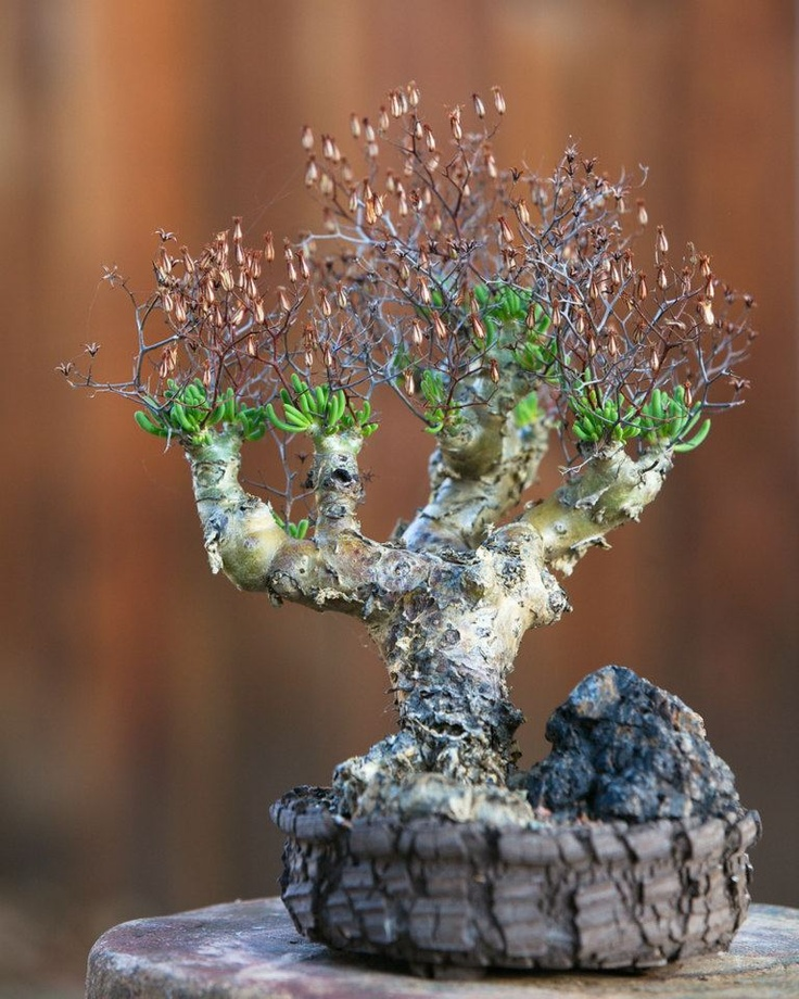 96 best keith kitoi taylor images on pinterest for Rare bonsai species