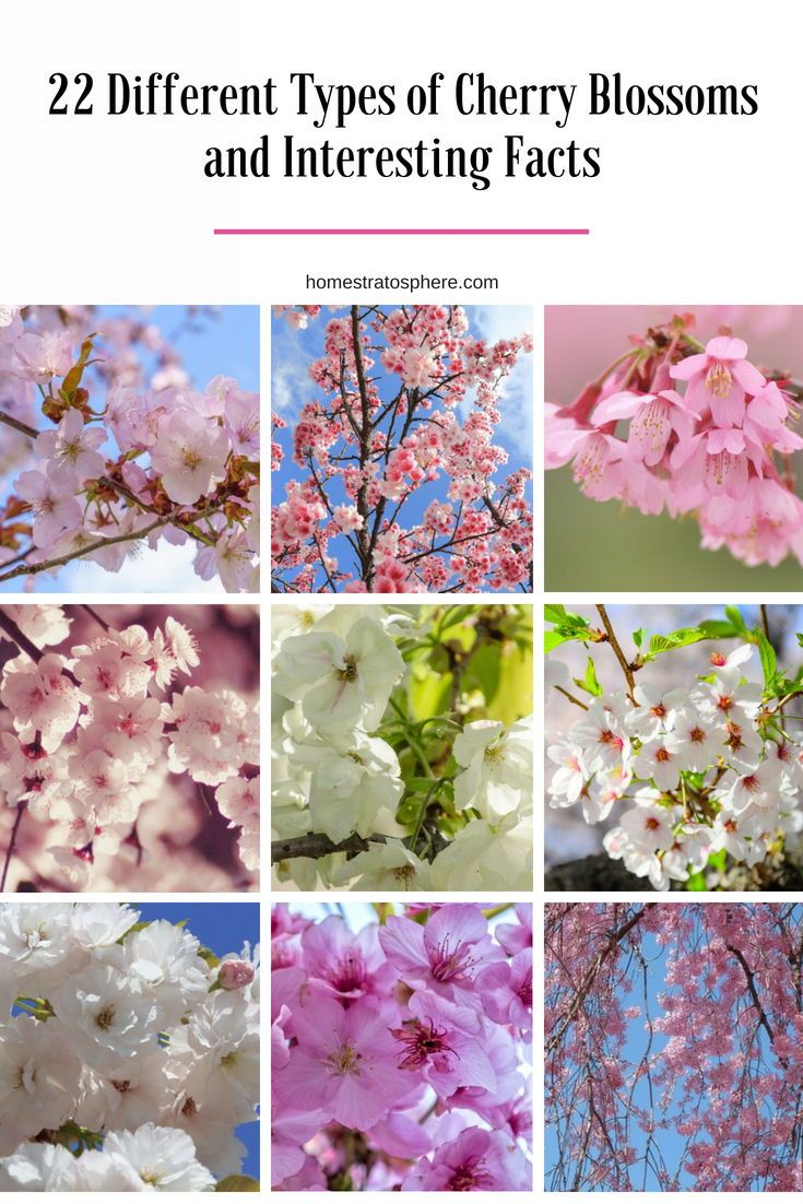22 Different Types Of Cherry Blossoms And Interesting Facts Types Of Cherries Cherry Blossom Blossom