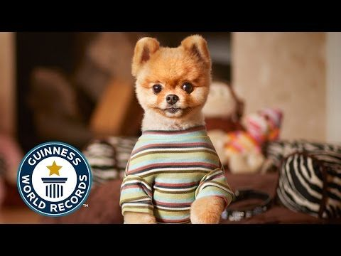 Jiff The Pomeranian Sets World Record For Fastest Dog On Two Paws