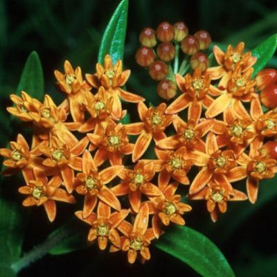 Milkweed - (butterfly) Asclepias tuberosa - Hawthorn Farm Organic Seeds