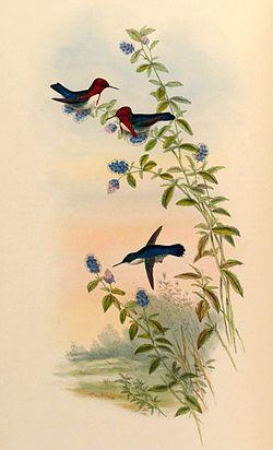 El zunzuncito, colibrí zunzuncito,2 pájaro mosca o elfo de las abejas (Mellisuga helenae) es la especie más pequeña de los colibríes y de las aves en general. Habita en Cuba y en la Isla de la Juventud (Isla de Pinos).