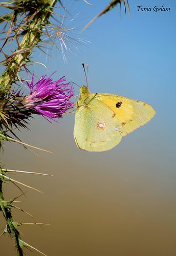 Berger's Clouded Yellow (Colias alfacariensis)