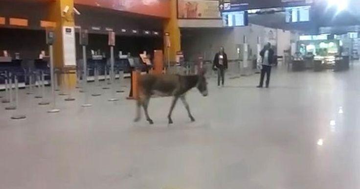 Jumento é visto passeando no saguão do aeroporto de Aracaju