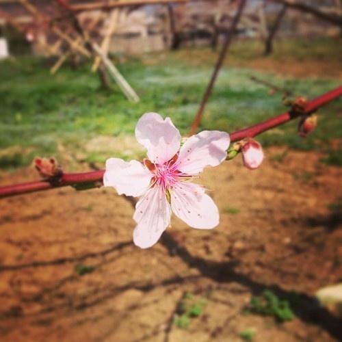 笛吹市で桃の花が咲きはじめました。 (いちのみや桃の里ふれあい文化館)