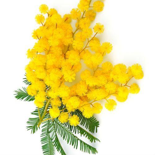 Tutto l'italiano con i proverbi » La mimosa, simbolo della festa della donna: attività ed esercizi sull'8 marzo
