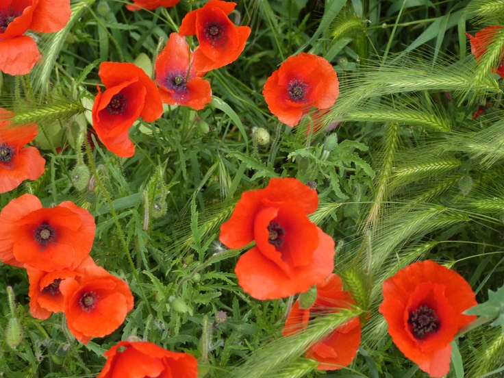 Poppies growing wild in Italy: Growing Wild, Poppies Growing, Ink Inspiration