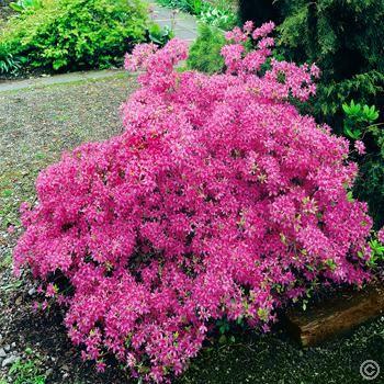 Azalea mollis Pink - 1 shrub Buy online order yours now