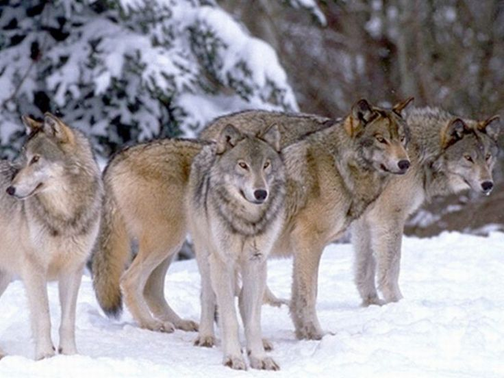 what are a group of wolves called