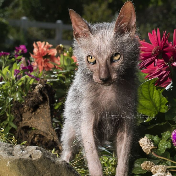 """Did you just call me ugly?"" - Bloopers - Lykoi kittens by Brittney Gobble"