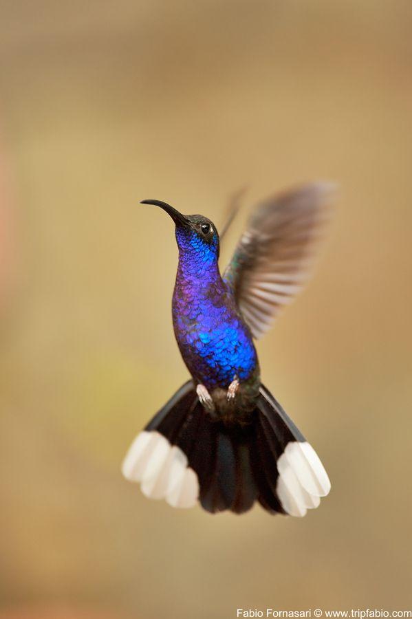 Hummingbird by Fabio Fornasari