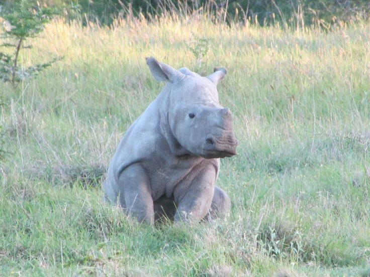 Protecting South Africas wildlife and national heritage is a key focus for the Amakhala Volunteer Program.  The work undertaken is never more important than that achieved with the rhino on the reserve.  Find out more at www.volunteerworldintl.com. #volunteer