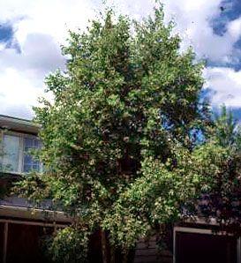 River Birch—Betula nigra Fast growing, tall tree. Cinnamon colored, exfoliating bark. Medium green leaves.