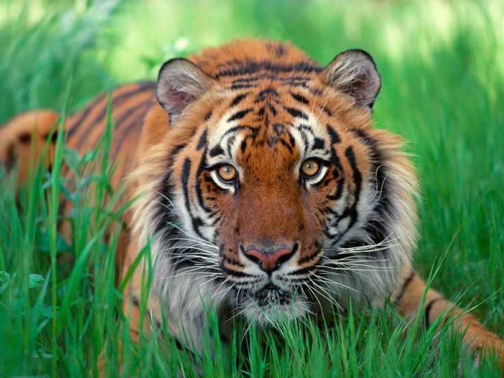 Tiger Hunting High Definition Wallpaper ready to set up your desktop just for FREE download. Get from our Animals HD Wallpapers collection the most beautiful Wide Wallpapers.