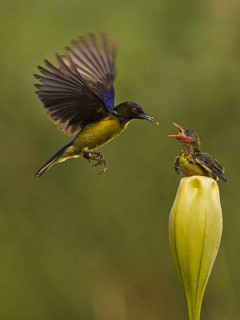 ~~Brown Throated Sunbird - Male~~  is he feeding a baby hummingbird?
