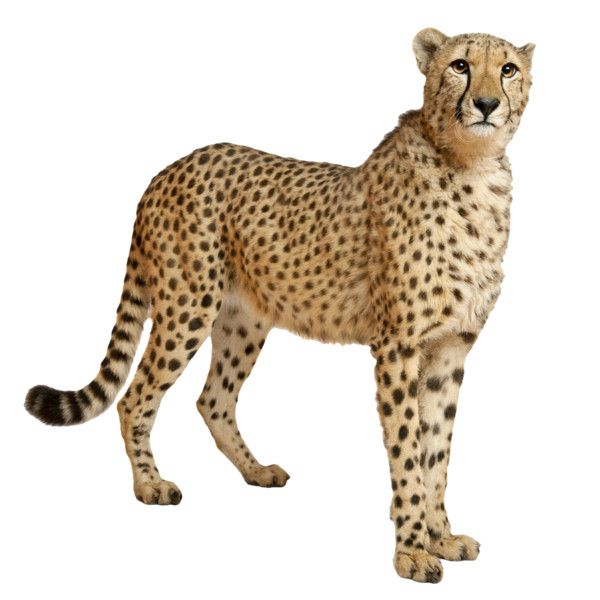 Cheetahs ❤ liked on Polyvore featuring animals