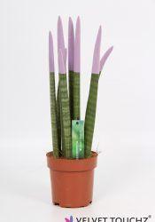 Sansevieria 12 cm Velvet Touchz® Pastel Paars_Witte Achtergrond