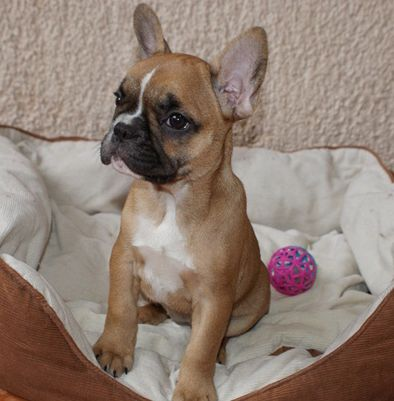 red fawn pied french bulldog - Google Search                              …