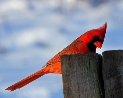 """Resuelto el misterio genético de los pájaros rojos: para sorpresa de los investigadores, el gen que enrojece la piel de las aves está presente en los genomas de la mayoría de especies, no solo de aquellas con plumas rojas.  Las aves diurnas parecen usar este gen para producir pigmentos rojos en la retina y mejorar la visión del color"""", explica Joseph Corbo, autor del primer estudio y científico en la universidad de Washington (EE UU). """"Sin embargo, solo las que tienen plumas de color…"""