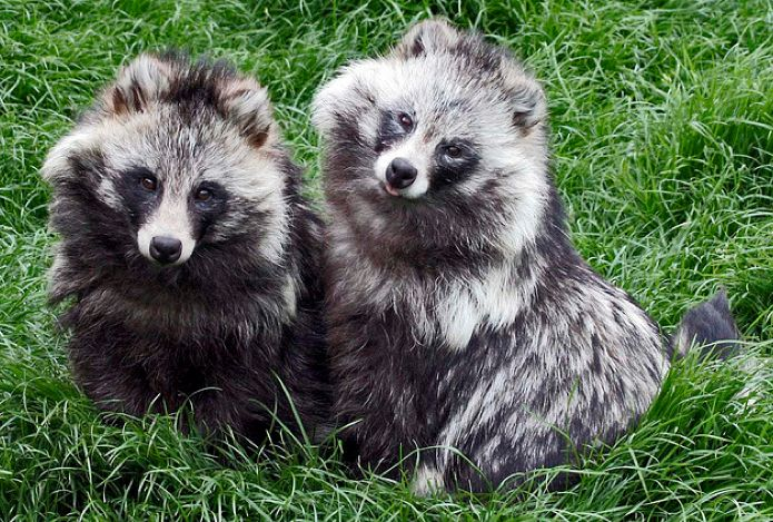 Nyctereutes procyonoides (2) - More Tips to Keep Raccoons ...