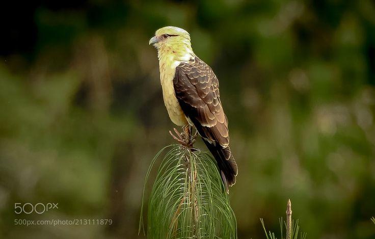 Yellow-headed Caracara (Milvago chimachima) by MarciaPBessa via http://ift.tt/2qd1QPZ