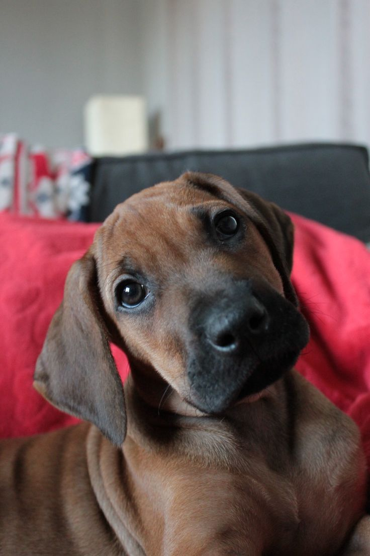 Top Rhodesian Ridgeback Black Adorable Dog - e1d00f4c9616208f02b77c35e734f8e0--rhodesian-ridgeback-beautiful-dogs  Image_77470  .jpg