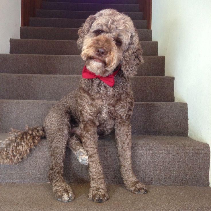 looking for love #valentinesday #labradoodle #dogs #dogswearingbowties #wouldyoudateadoodle