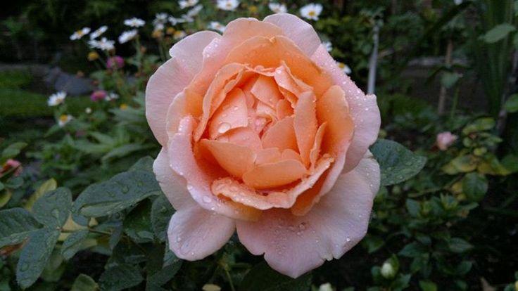 Rosa de San Pedro
