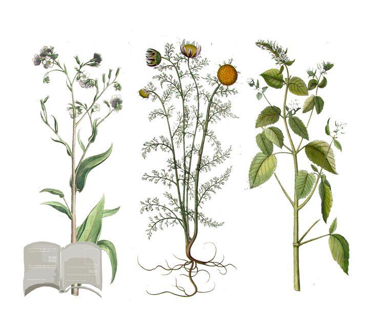 Come raccogliere essiccare, conservare ed utilizzare correttamente le piante officinali.