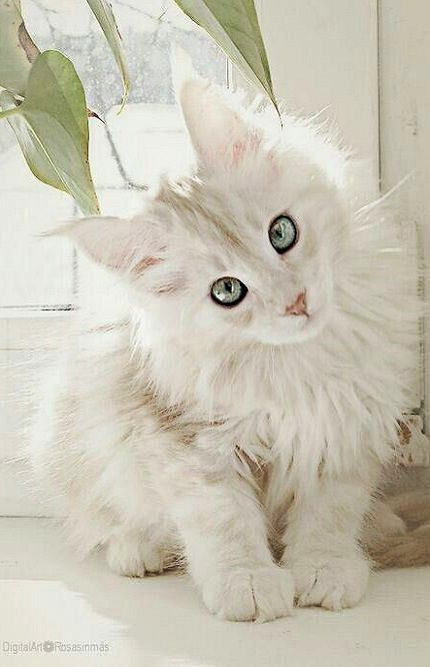 White Maine Coon. The only cat I've ever wanted!!! Love them!