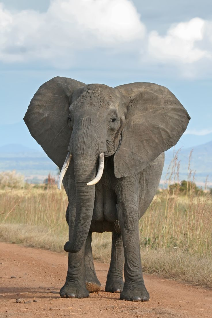 A female African Bush Elephant in Mikumi National Park, Tanzania. Do click on this image and on the next two  for a much enlarged viewing of this beautiful elephant.