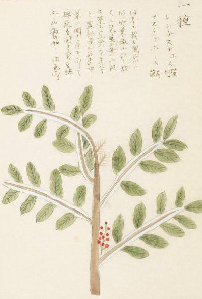 マスティック mastic 本草図譜  岩崎 灌園, Honzo-Zufu, KanEn Iwasaki (1830)