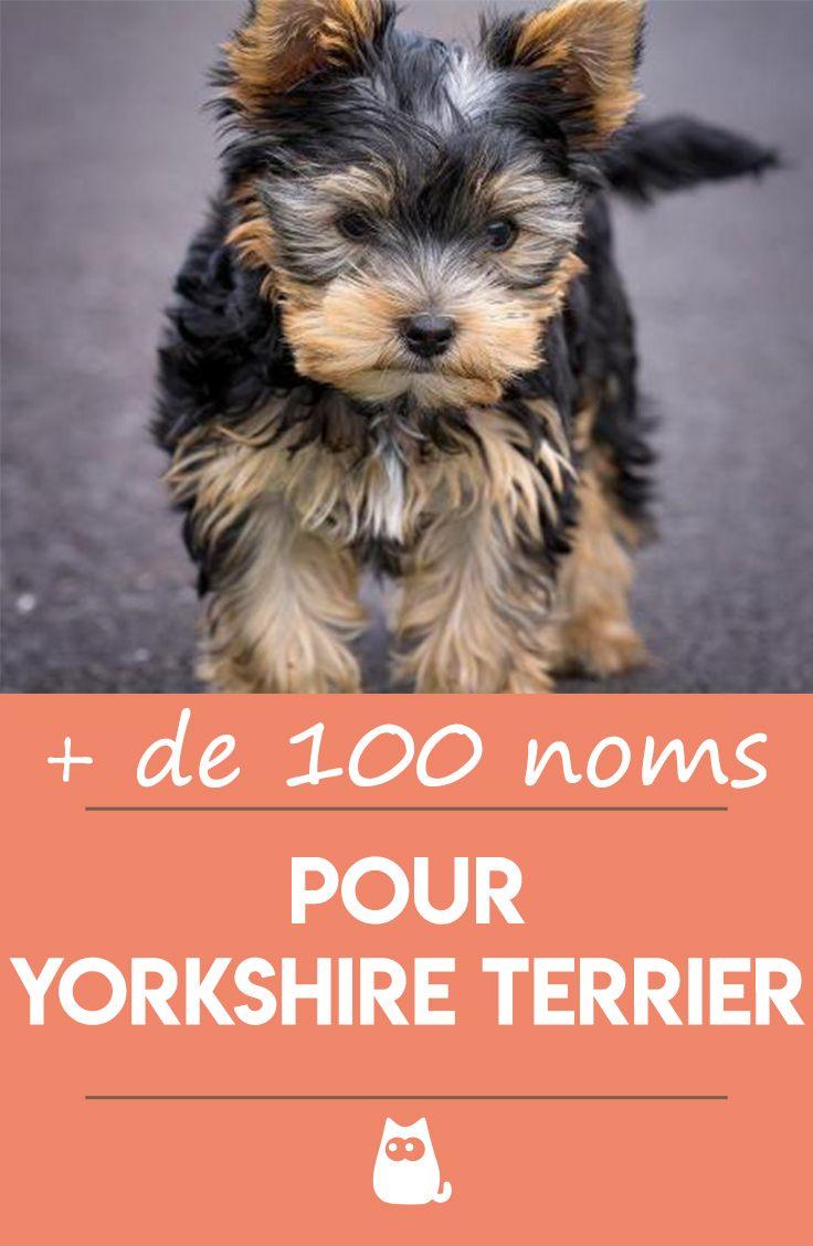 Noms Pour Yorkshire Terrier Males Femelles Et Chiots Plus De 100 Idees Noms De Chien Femelle Yorkshire Terrier Chiot Yorkshire