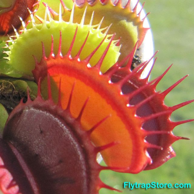 Neapolitan Venus flytrap, varied colors