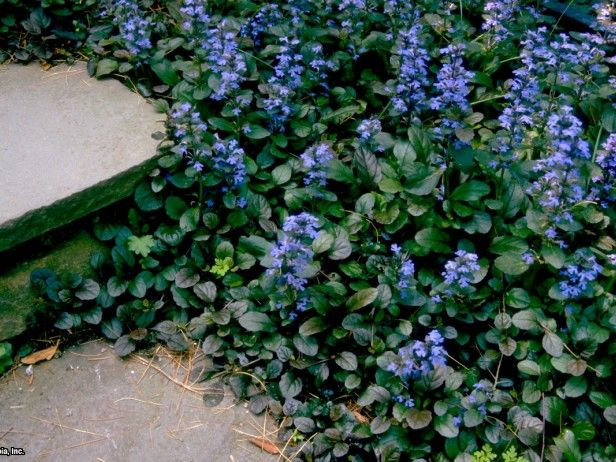 Carpet Bugle Ajuga reptans 'Atropurpurea' : HGTV Gardens