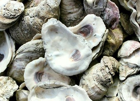 Oyster shell d