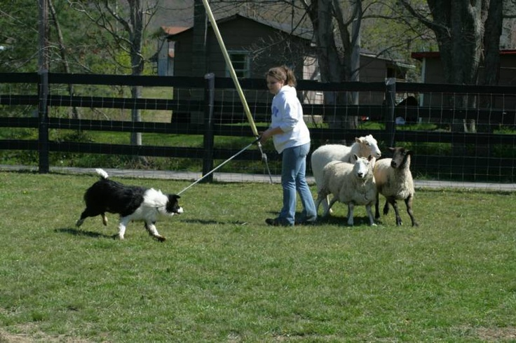 Border Collie for sale and Herding Clinic in Irvine, KY 1.75 hrs from Sandy Hook
