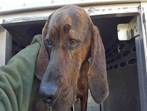 Pin By Coonhounds On Adoptable Plott Hounds Pinterest Plott