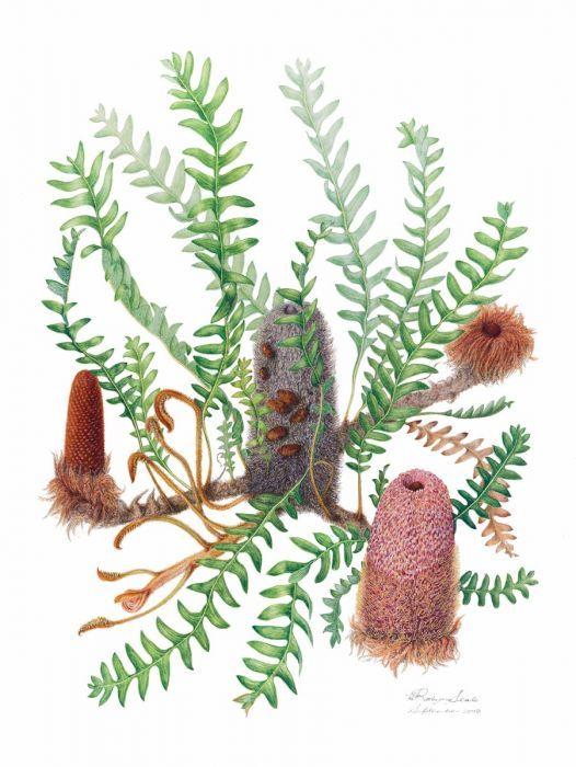 Banksia blechnifolia (Groundcover Banksia)