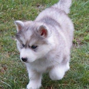 White Siberian Husky Puppy For Sale - Gala Husky