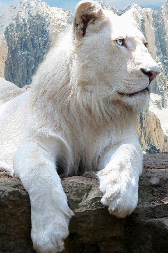 white lion (endangered)