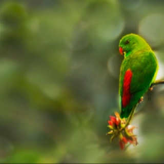 Vernal Hanging Parrot, India: Hanging Parrots, 1000 Parrots, Exotic Birds, Vernal Hanging, Beautiful Birds