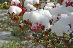 Winter Protection For Azaleas: Caring For Azalea Shrubs In Winter - Preparing azalea shrubs for winter will ensure your plants are hale and hearty when temperatures rise in spring. Read this article for tips on suitable winter protection for azaleas. Click here for more information.