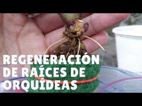 Salvar Orquídea con raíces podridas #2: Regeneración de raíces || Orquiplanet - YouTube