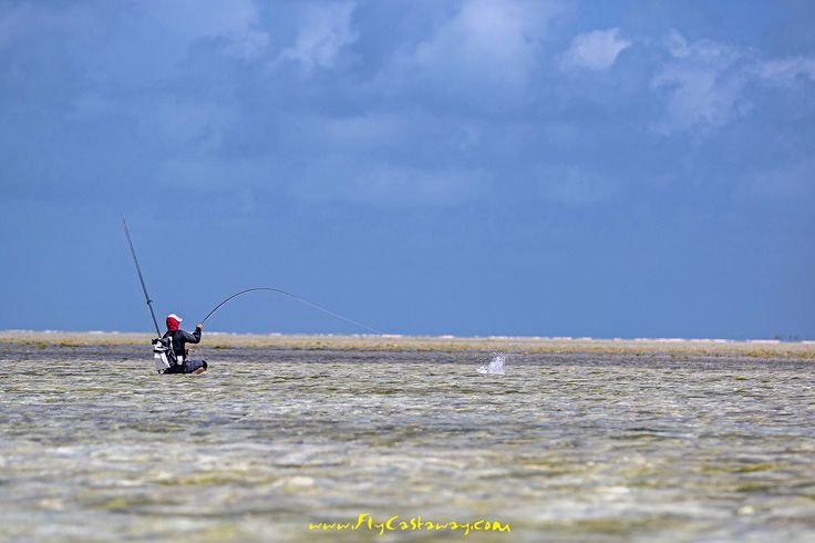 Skinny water Bonefish action! St Brandon's Atoll - Indian Ocean