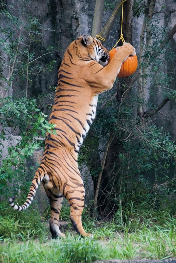 Enrichment Ideas For Big Cats