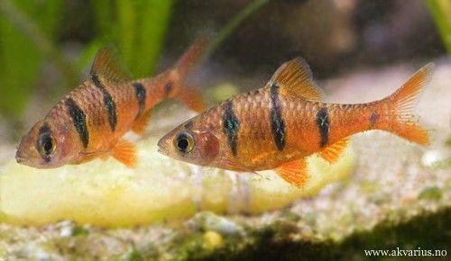 - Fembåndsbarbe - Puntius pentazona - Fiveband barb    - Asia, borneo pg indonesia. - Beplantet kar med dempet belysning. Fint og gjerne mørkere bunnsubstrat.  - Hannen er mindre, slankere og har sterkere farger.   - pH: 6-7, 0-10 dH, 25-28 C