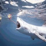 Attaques de requins: «Une simple morsure d'exploration de requin blanc peut être fatale pour un homme»